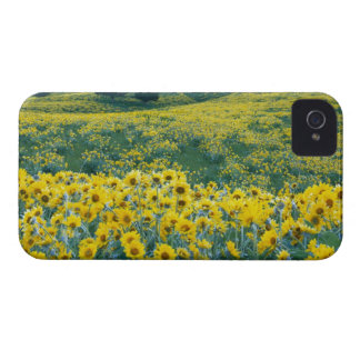 UTAH. USA. Arrowleaf balsamroot (Balsamorhiza Case-Mate iPhone 4 Case