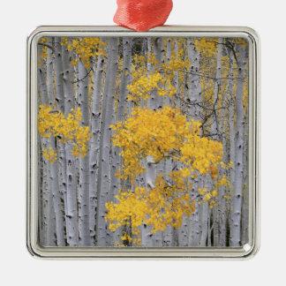 UTAH. USA. Aspen grove (Populus tremuloides) in Christmas Ornament