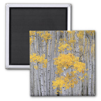 UTAH. USA. Aspen grove (Populus tremuloides) in Square Magnet