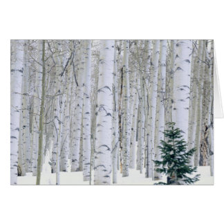 UTAH. USA. Aspen (Populus tremuloides) & Douglas Card