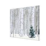 UTAH. USA. Aspen (Populus tremuloides) & Douglas Gallery Wrapped Canvas
