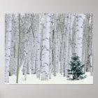 UTAH. USA. Aspen (Populus tremuloides) & Douglas Poster