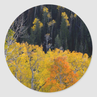 Utah. USA. Aspen Trees In Autumn On The Sevier Classic Round Sticker
