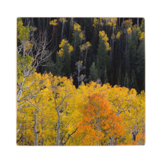 Utah. USA. Aspen Trees In Autumn On The Sevier Wood Coaster