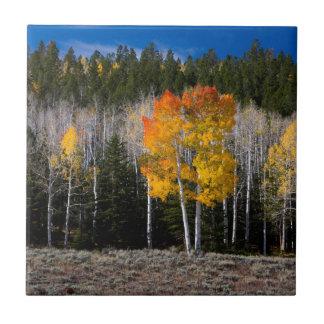 Utah, USA. Aspen Trees (Populus Tremuloides) 2 Tile