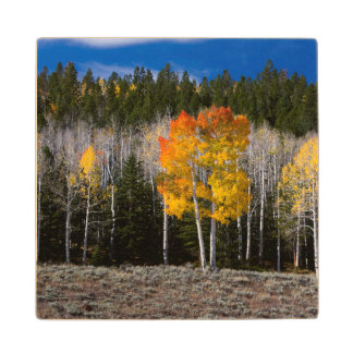 Utah, USA. Aspen Trees (Populus Tremuloides) 2 Wood Coaster