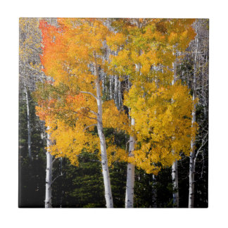 Utah, USA. Aspen Trees (Populus Tremuloides) 3 Tile