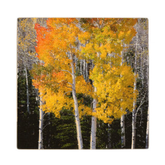 Utah, USA. Aspen Trees (Populus Tremuloides) 3 Wood Coaster