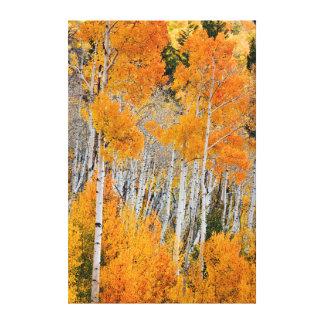 Utah, USA. Aspen Trees (Populus Tremuloides) 4 Gallery Wrap Canvas