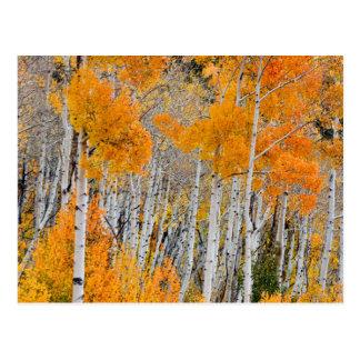 Utah, USA. Aspen Trees (Populus Tremuloides) 4 Postcard