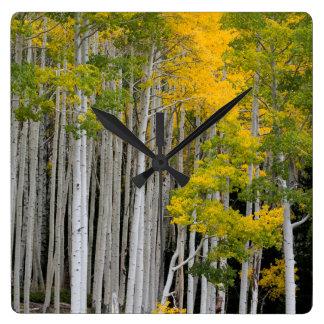 Utah. USA. Aspen Trees (Populus Tremuloides) Clocks