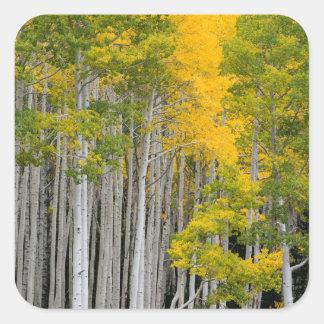 Utah. USA. Aspen Trees (Populus Tremuloides) Square Sticker