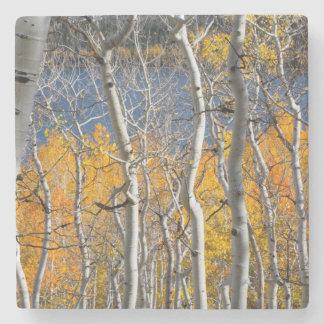 Utah, USA. Aspen Trees (Populus Tremuloides) Stone Coaster