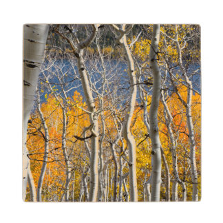 Utah, USA. Aspen Trees (Populus Tremuloides) Wood Coaster