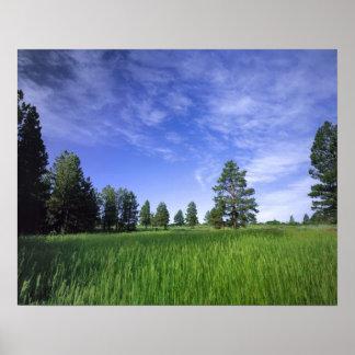 UTAH. USA. Ponderosa pines Pinus ponderosa) & Poster