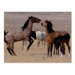 Utah Wild Mustangs Postcard