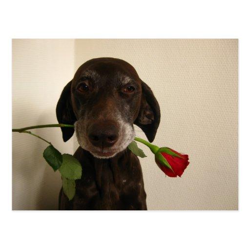 valentine rose pointer postcards