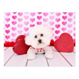 Valentines - Bichon Frise - Lilly Postcard
