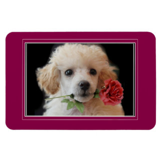 Valentine's Toy poodle puppy 4x6 photo magnet