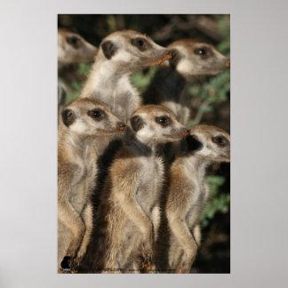 Van Helsing meerkats Poster