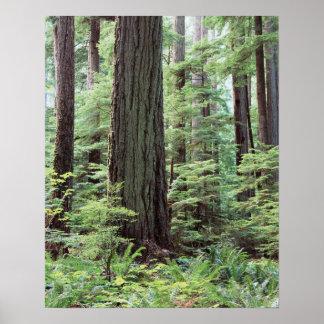 Vancouver Island, MacMillan Provincial Park 1 Poster