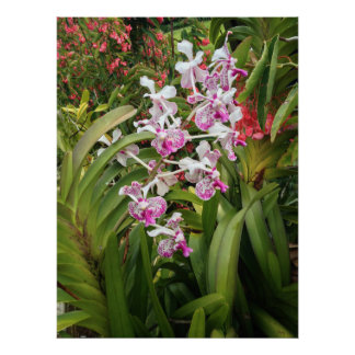 Vanda Orchids and Begonias Poster