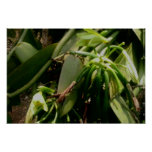 Vanilla Plant Orchids Picture Poster