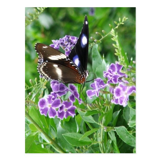 Varied Eggfly Male Butterfly Postcard