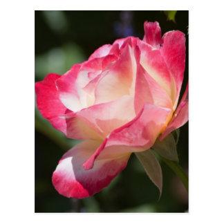 Variegated Rose Floral Gift Postcard