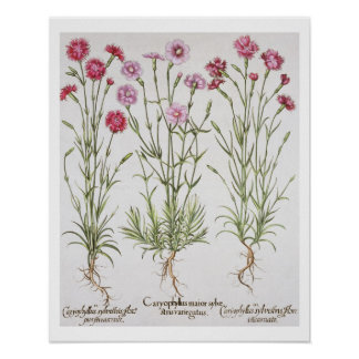 Various varieties of Dianthus, from the 'Hortus Ey Poster