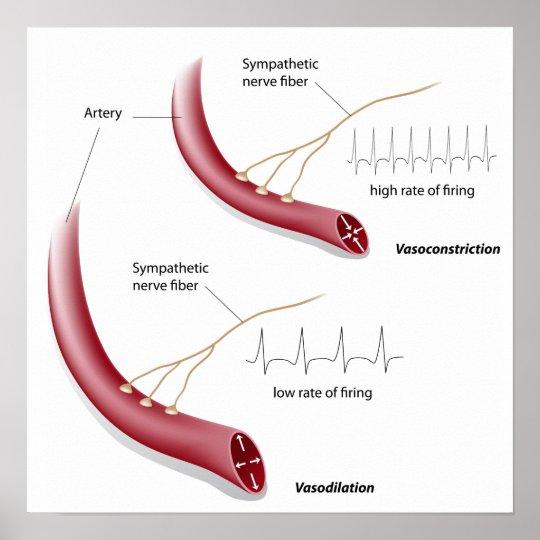 Vasoconstriction and vasodilation  Poster