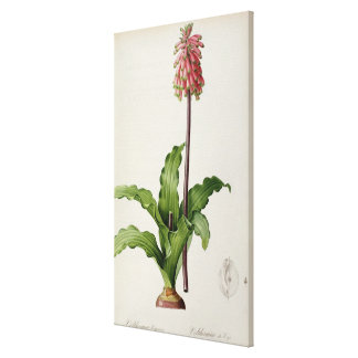 Veltheimia Capensis, from `Les Liliacees', c.1805 Canvas Print
