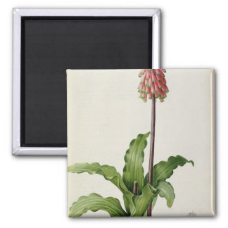 Veltheimia Capensis, from `Les Liliacees', c.1805 Square Magnet