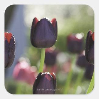 Velvety, deep maroon-black blooms on sturdy sticker