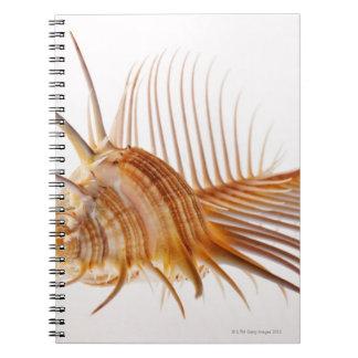 Venus Comb Murex shell (Murex pectin) against Notebook
