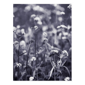 Verbena flowers in black and white postcard