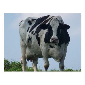 VERMONT DAIRY COW Postcards