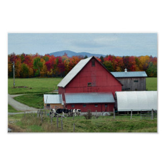 Vermont Dairy Cows at the Red Barn Poster