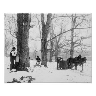 Vermont Maple Sugar Camp, 1906 Posters
