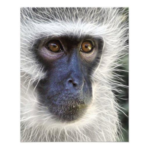 vervet-monkey-275013  vervet monkey monkey female full color flyer