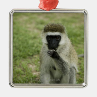 Vervet monkey eating, Africa Christmas Ornament
