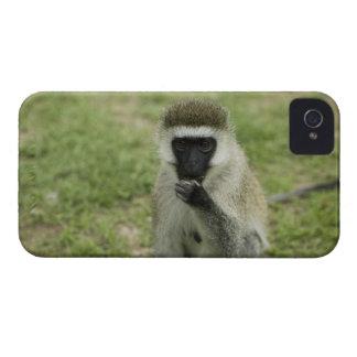 Vervet monkey eating, Africa iPhone 4 Cover