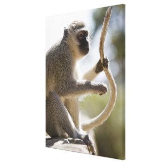 Vervet monkey holding tail canvas print