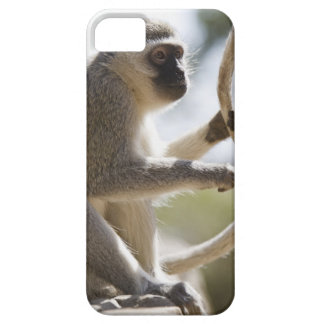 Vervet monkey holding tail iPhone 5 cover