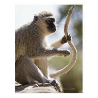 Vervet monkey holding tail postcard