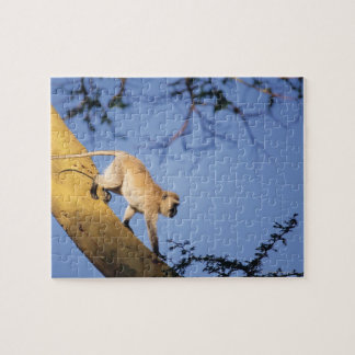 Vervet monkey on tree branch , Serengeti Puzzle