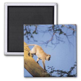 Vervet monkey on tree branch , Serengeti Square Magnet