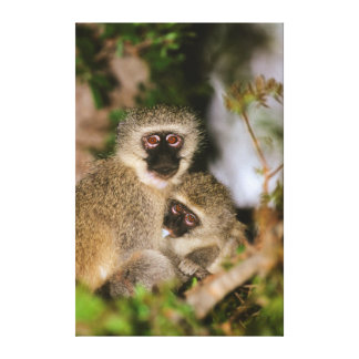 Vervet Monkey suckling Canvas Print