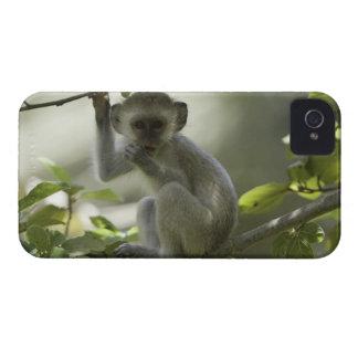Vervet Monkey, Zimbabwe Case-Mate iPhone 4 Cases