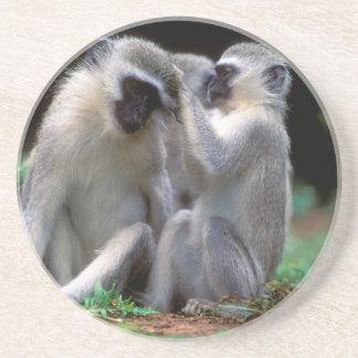 Vervet Monkey's (Cercopithecus Aethiops) Coaster